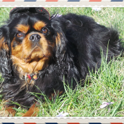 Chien cavalier king charles